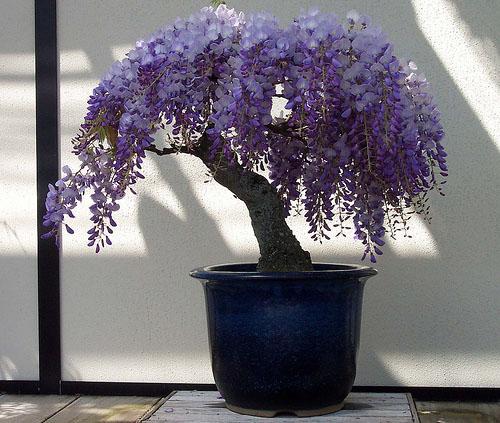 Wisteria Also Spelled Wistaria Is A Genus Of Flowering